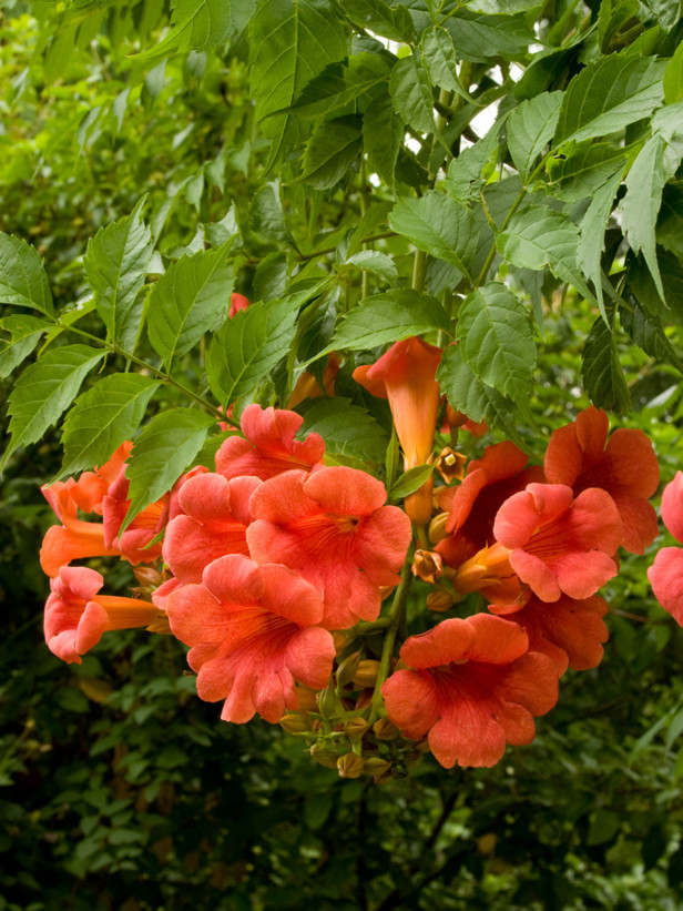 The flamboyant flowering of Campsis radicans made it obvious to the first English colonists in Virginia. Consequently the plant quickly made its way to England early in the 17th century.